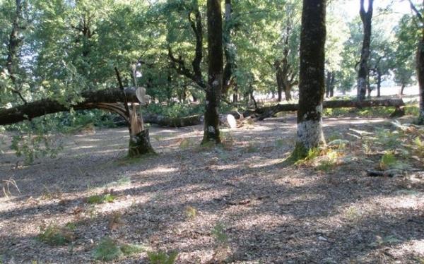 Μόνο ένα δέντρο μπορεί να φέρει κέρδος από 150 έως και 250 ευρώ, ανάλογα με την ποιότητα του ξύλου