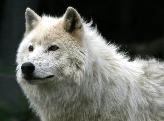 Τους ρήμαξαν οι λύκοι στα ορεινά…